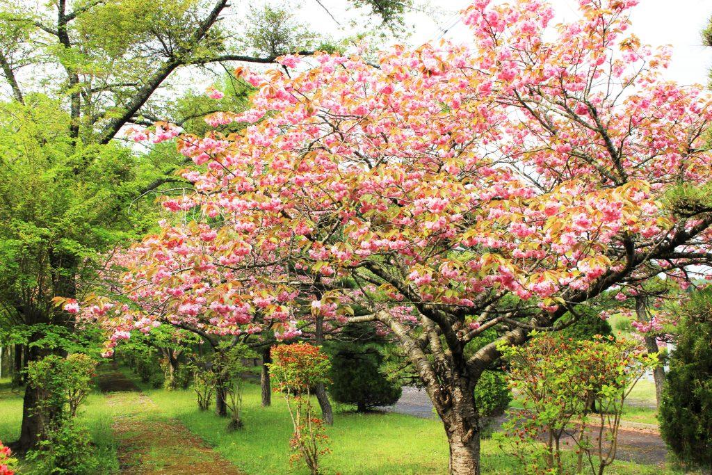 知内公園桜1