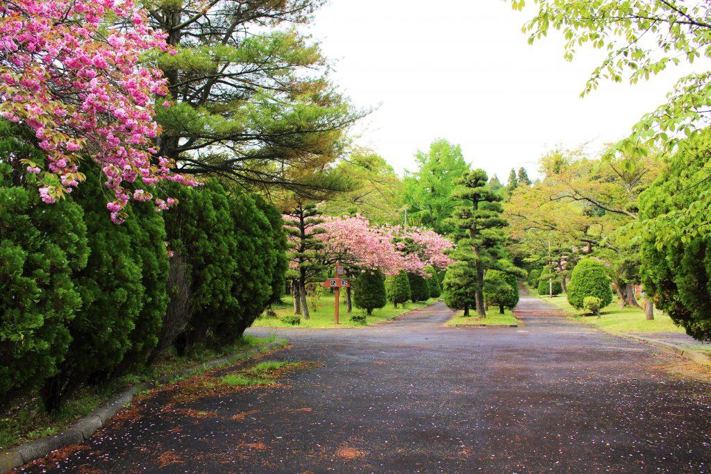 知内公園桜2