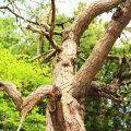 神々しい静謐さが漂うスピリチュアルスポット「知内公園」~姥杉と荒神社の黒松~(2)